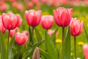 Цветы талисманы для Рака - тюльпаны