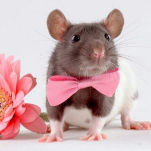 Характеристика мужчины Крысы
