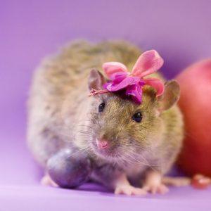 Характеристика женщины Крысы