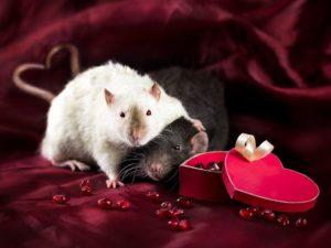 Крысы - совместимость одинаковых знаков Зодиака