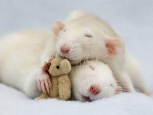 Мужчина Крыса и женщина Крыса в сексе