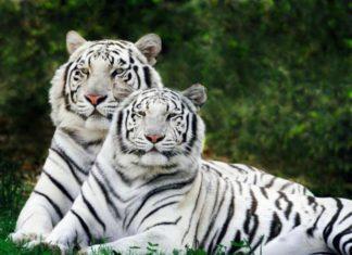 muzhchina-tigr-i-zhenshhina-tigr