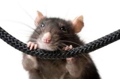 Мужчина Крыса совместимость