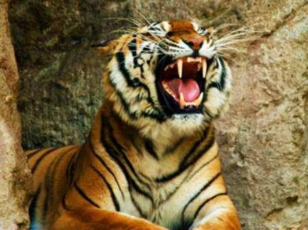 Мужчина Тигр и женщина Тигр - их совместимость и отношения