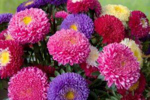 Цветок Астра