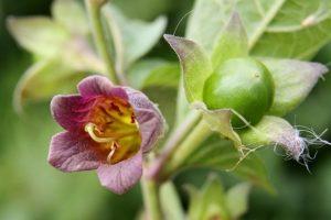 Цветок Красавка