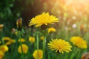 Цветок Одуванчик