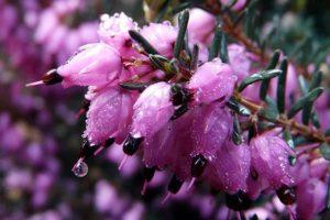 Цветок Вереск