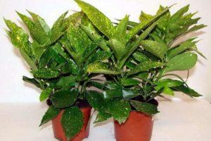 Цветы и растения привлекающие деньги в дом - аукуба японская