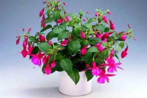 Цветы и растения привлекающие деньги в дом - фуксия